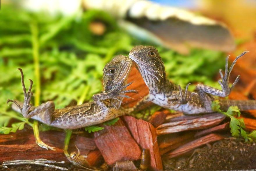 baby4079a 5cac30e079555  880 - Семья из Австралии нашла в саду яйца восточной водяной ящерицы и помогла малышам появиться на свет