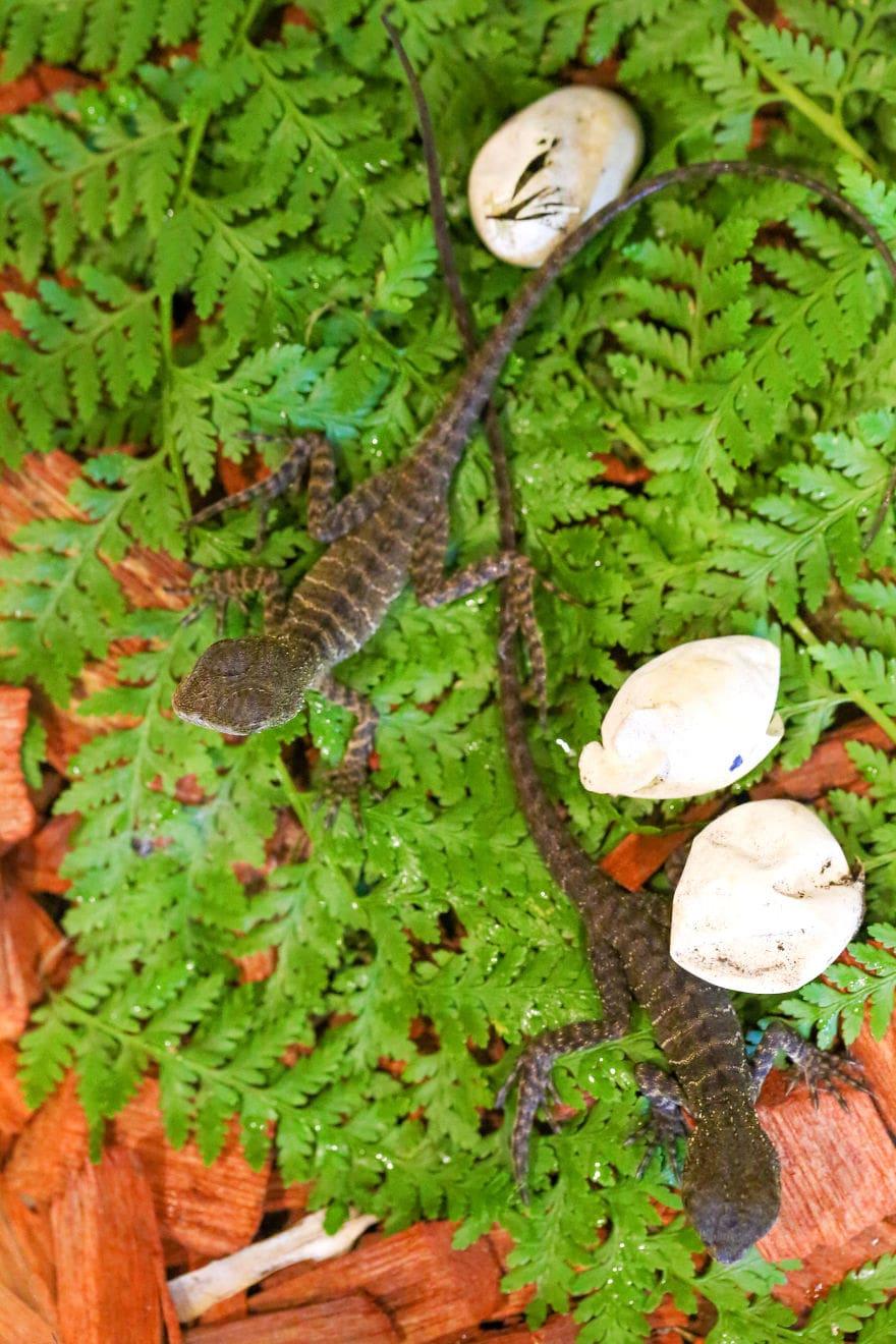 baby4292 5cac31403f302  880 - Семья из Австралии нашла в саду яйца восточной водяной ящерицы и помогла малышам появиться на свет