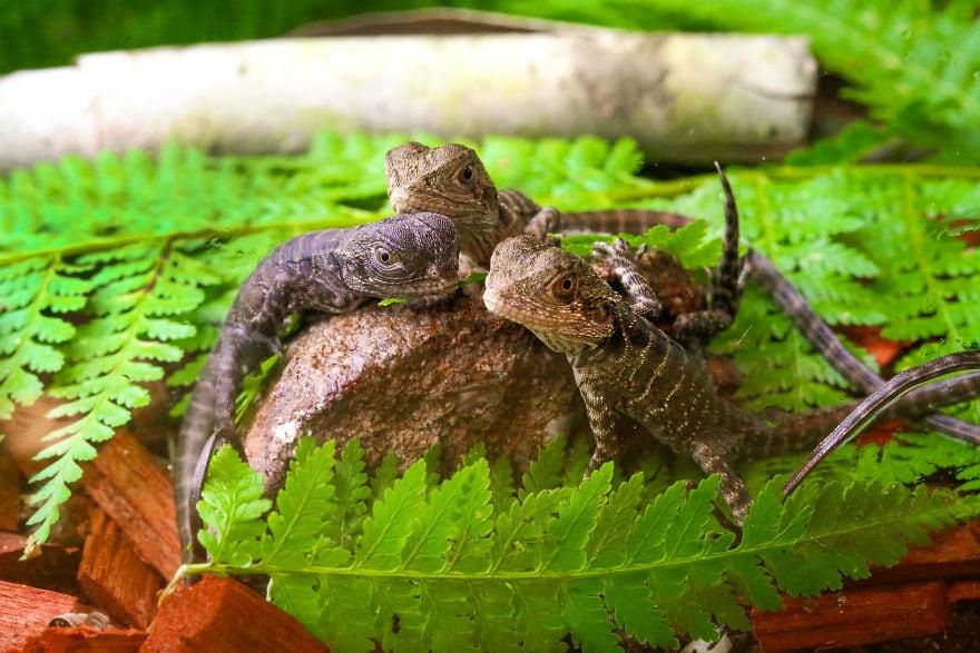 baby4375 5cac316d1300d  880 - Семья из Австралии нашла в саду яйца восточной водяной ящерицы и помогла малышам появиться на свет