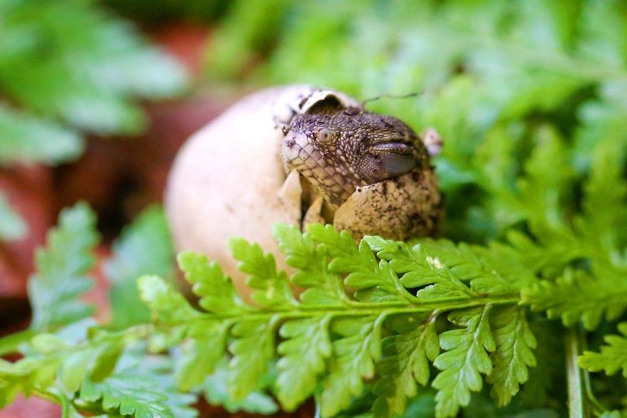 baby4494 5cac2f28e875d  880 - Семья из Австралии нашла в саду яйца восточной водяной ящерицы и помогла малышам появиться на свет