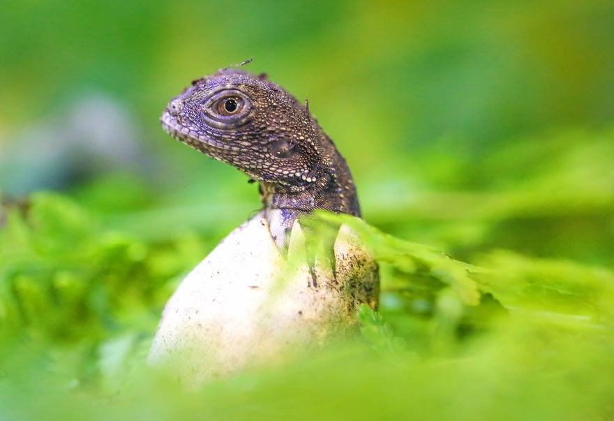 baby4506 5cac2f60633f9  880 - Семья из Австралии нашла в саду яйца восточной водяной ящерицы и помогла малышам появиться на свет