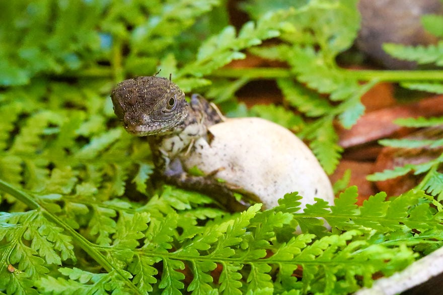 baby4541 5cac2f7059613  880 - Семья из Австралии нашла в саду яйца восточной водяной ящерицы и помогла малышам появиться на свет