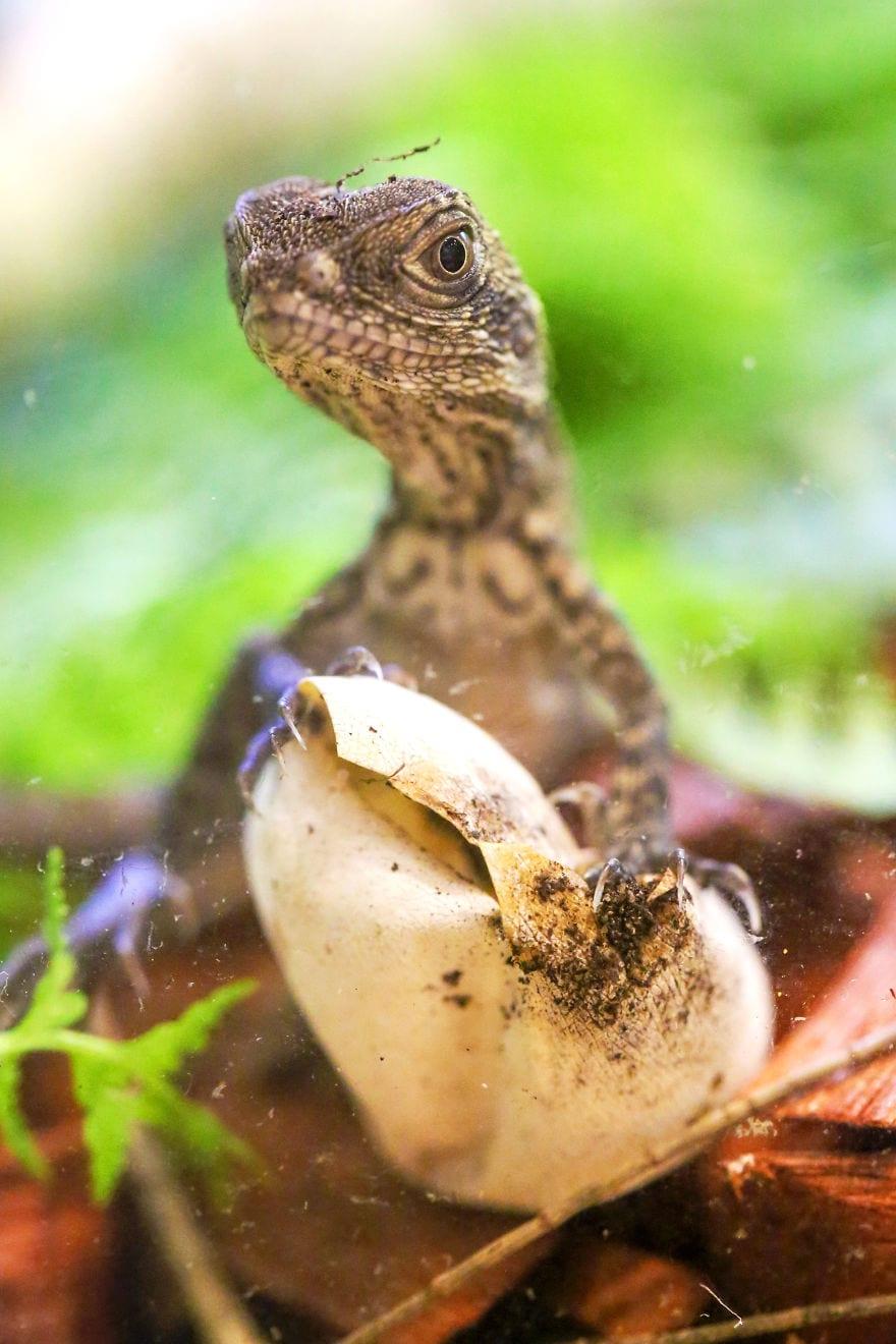 baby4555 5cac2f7f9026d  880 - Семья из Австралии нашла в саду яйца восточной водяной ящерицы и помогла малышам появиться на свет