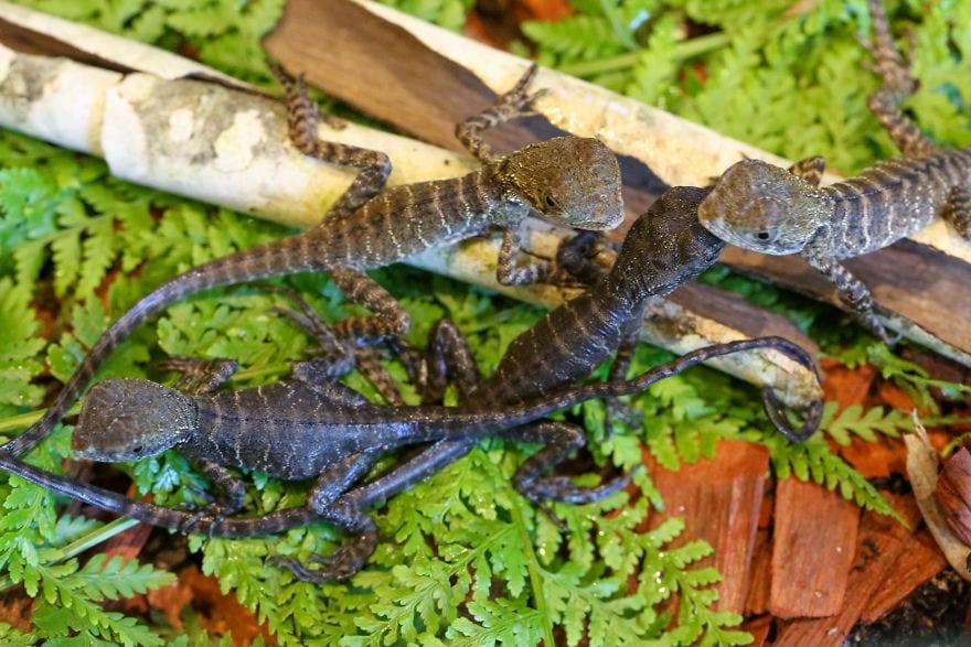 baby4565 5cac317c13c18  880 - Семья из Австралии нашла в саду яйца восточной водяной ящерицы и помогла малышам появиться на свет