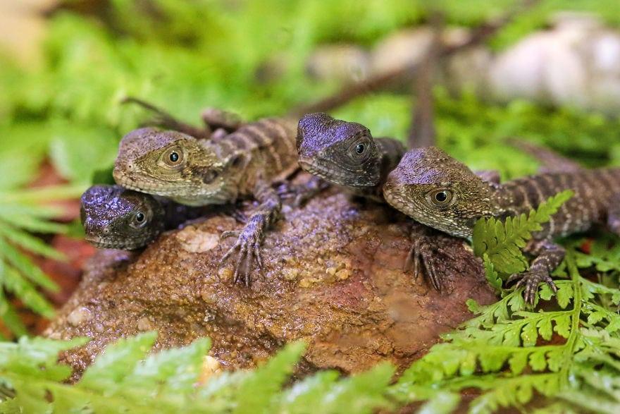 baby4606 5cac31987c5cc  880 - Семья из Австралии нашла в саду яйца восточной водяной ящерицы и помогла малышам появиться на свет