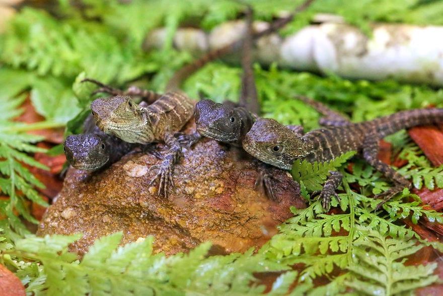 baby4611 5cac31ce38ee1  880 - Семья из Австралии нашла в саду яйца восточной водяной ящерицы и помогла малышам появиться на свет