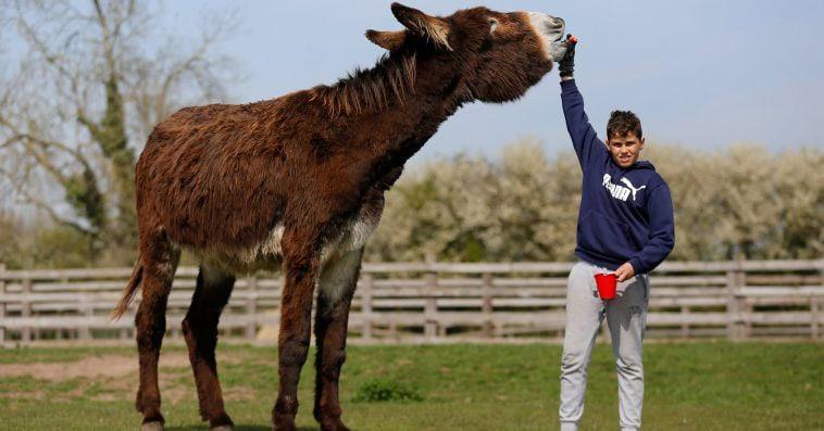 Британский мул вырос до невиданных размеров и стремится в книгу рекордов. Как самый большой осёл