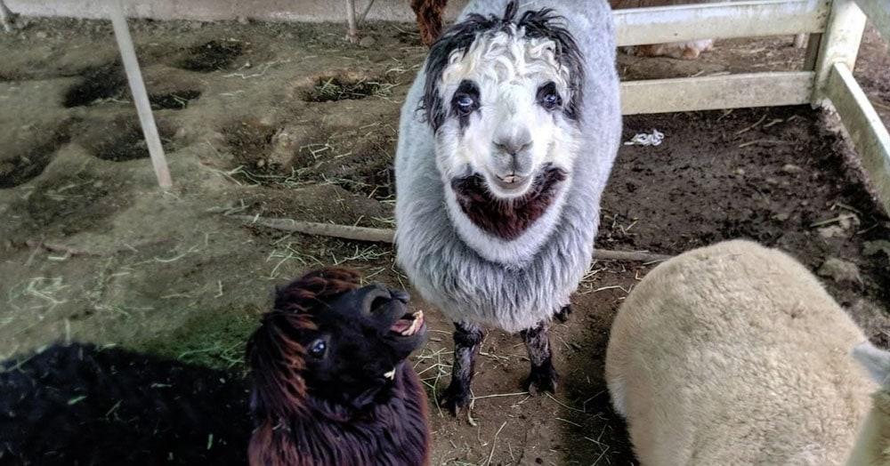 Пользователь Твиттера нашёл альпака, чей макияж затмит Джокера и Пеннивайза. И он у него от природы