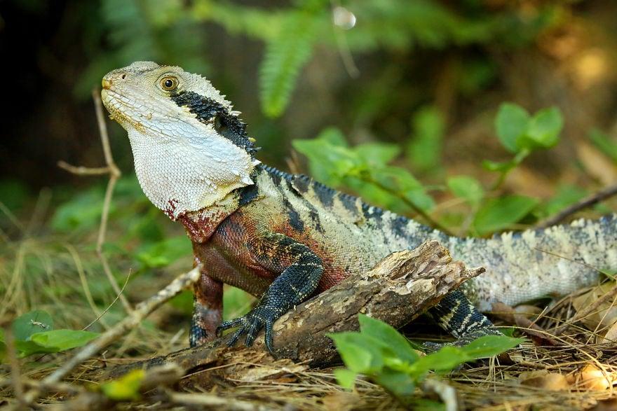 eastern water dragons hatching 5cac35f42c86d  880 - Семья из Австралии нашла в саду яйца восточной водяной ящерицы и помогла малышам появиться на свет