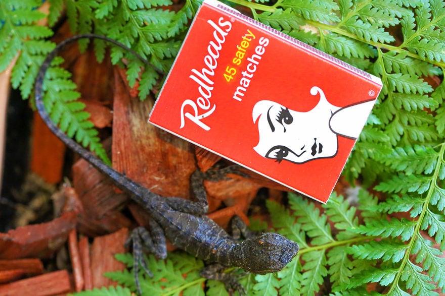eastern water dragons hatching 5cac39e3c78e6  880 - Семья из Австралии нашла в саду яйца восточной водяной ящерицы и помогла малышам появиться на свет