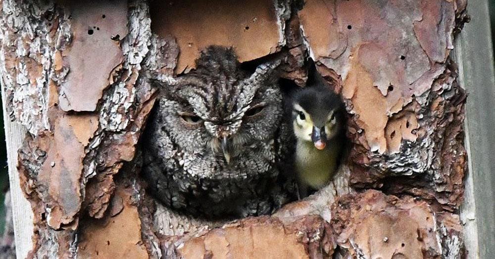 Американка заметила рядом со своим домом пернатую парочку. И этот утёнок — вовсе не обед для совы