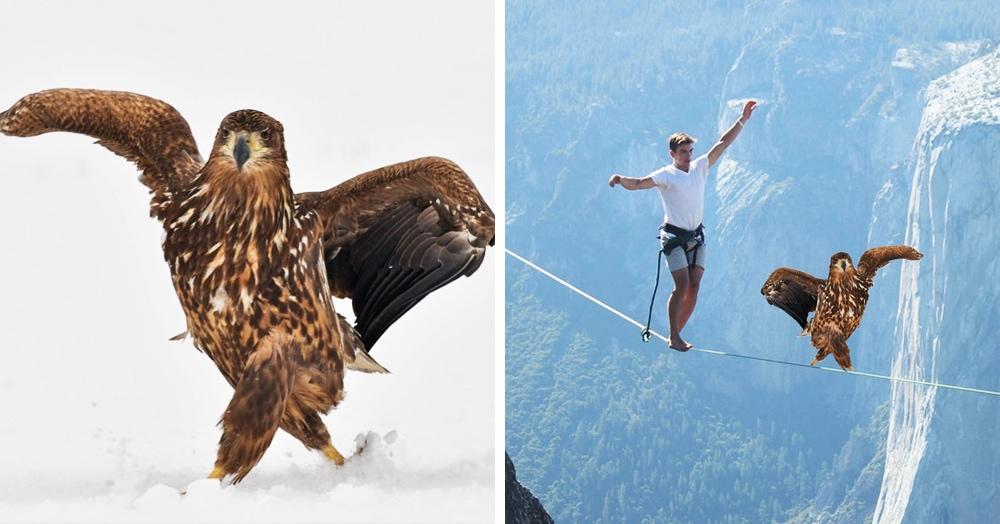 Орёл гордой походкой прошёлся по снегу и из-за этого стал главным героем битвы фотошоперов
