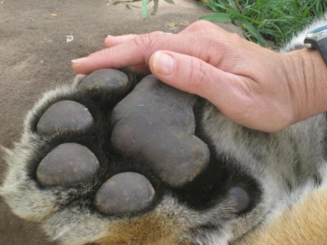tiger paws 116309 6939998 - 18 фотографий животных, которые на своём примере показывают, что размеры познаются в сравнении