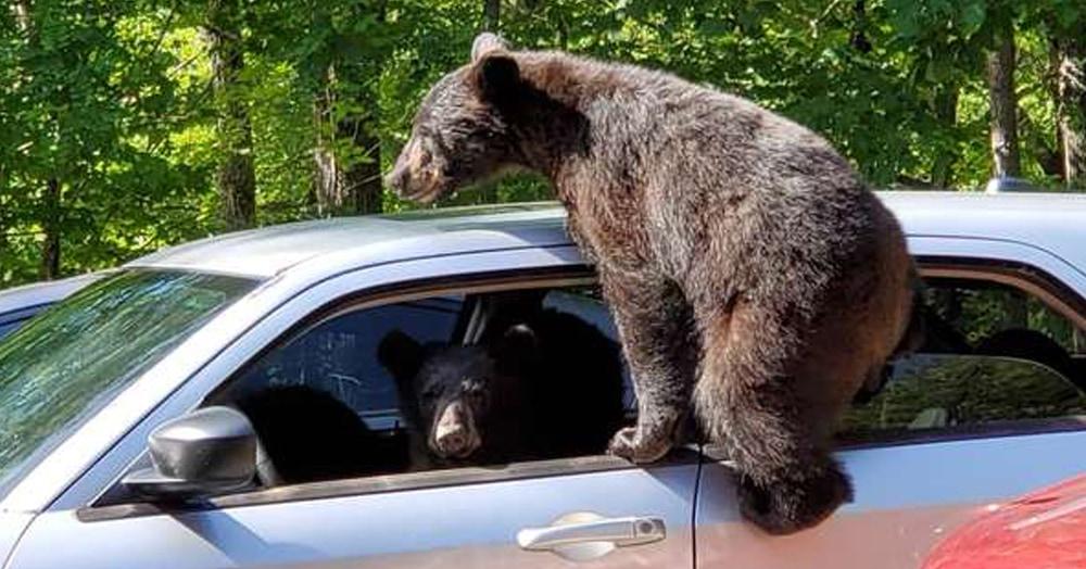 Мужчина не закрыл окна в машине, и её чуть не угнали. Чуть — потому что у преступников были лапки