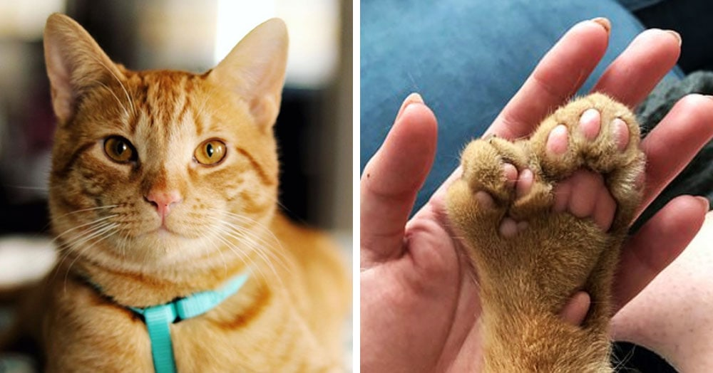 У этого кота есть дополнительный набор пальцев, но это не мешает ему быть любимым и очаровательным