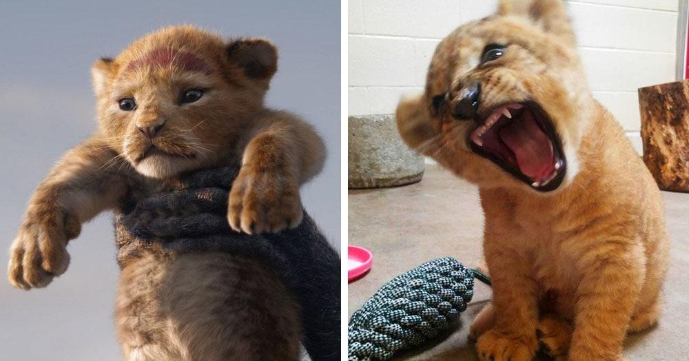 «Король лев» в жизни: Симбу срисовали с реального львёнка, и вот, как он (а точнее она) выглядит