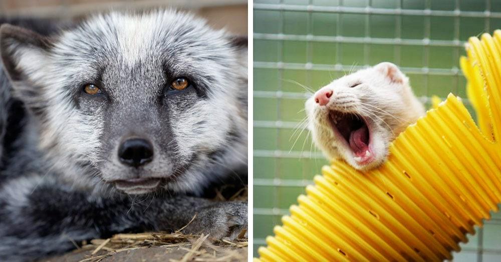 20 животных, которые чудом спаслись с меховых ферм и попали в хорошие питомники