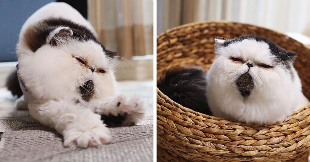 Природа наградила этого кота окрасом, который выглядит, словно он принарядился и надел галстук