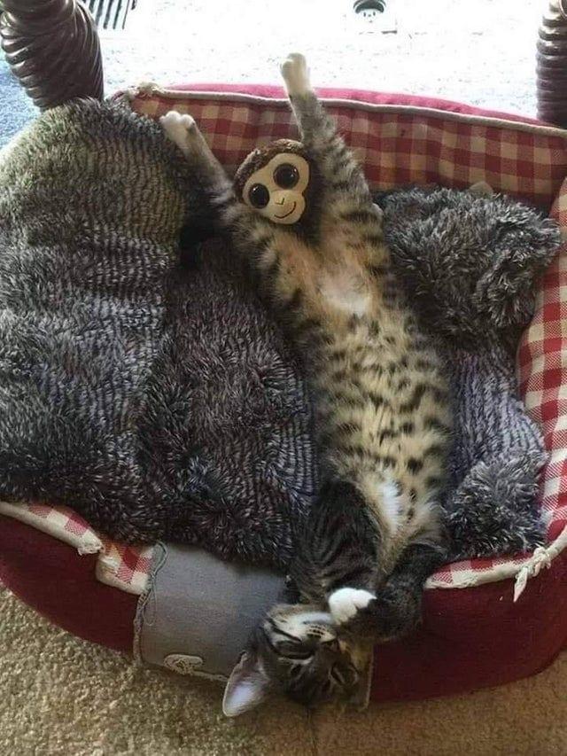 znq62d4geac31 - У растянувшегося котика в неожиданном месте образовалась обезьянка. Фотошоп-веселья было не избежать