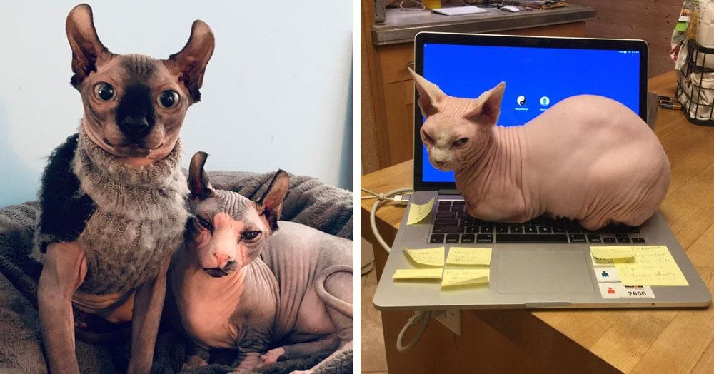 25 ярких доказательств того, что сфинксы — самая особенная порода кошек