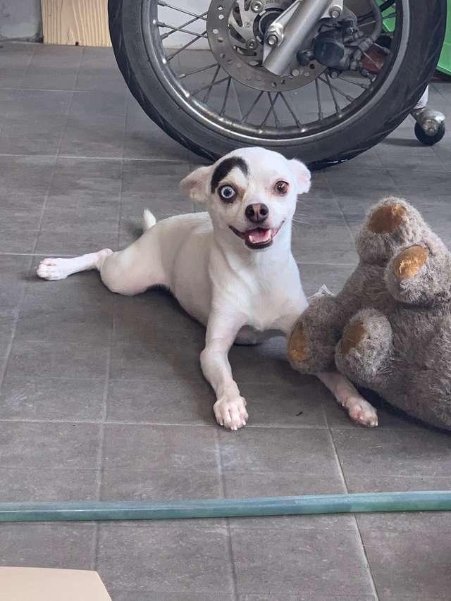1565269242 b5af278afbc0790645f6509aa47658e8 - В Таиланде обнаружили пса, который выглядит как 2 собаки в 1. Люди думали, фотошоп, но нет — природа