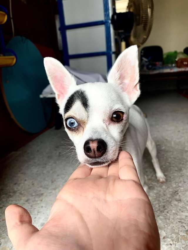 1565269243 38f19fa1f8531b94cac4c2ec19d91e6d - В Таиланде обнаружили пса, который выглядит как 2 собаки в 1. Люди думали, фотошоп, но нет — природа
