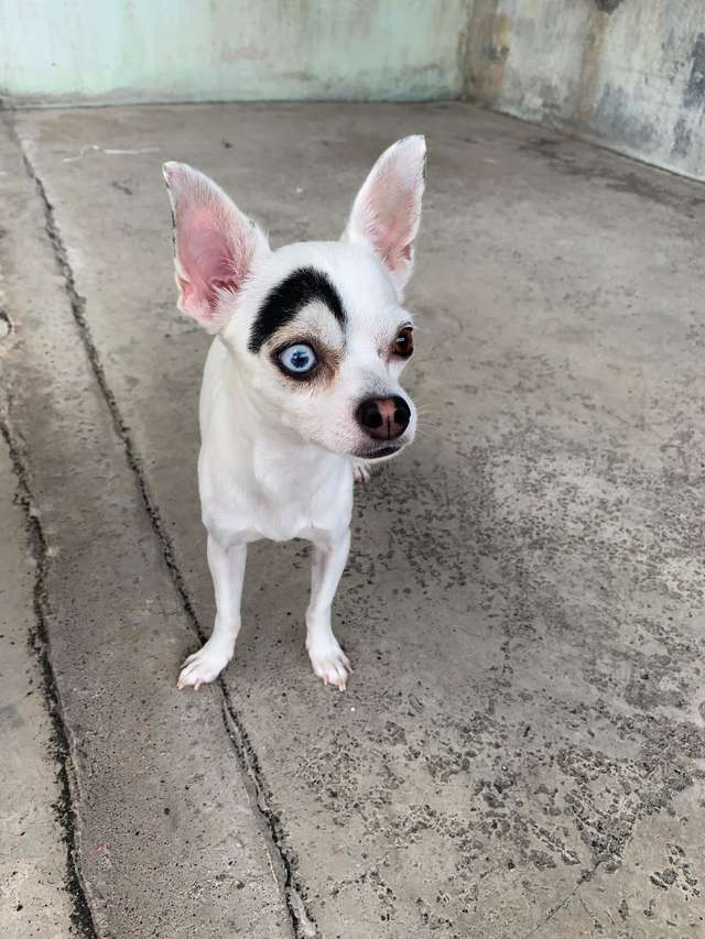 1565269244 8fc12f62bc253872c1abbd2e735ebd10 - В Таиланде обнаружили пса, который выглядит как 2 собаки в 1. Люди думали, фотошоп, но нет — природа