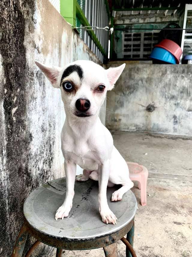 1565269245 f87392edb97d0c4fa43c45216882ceb1 - В Таиланде обнаружили пса, который выглядит как 2 собаки в 1. Люди думали, фотошоп, но нет — природа