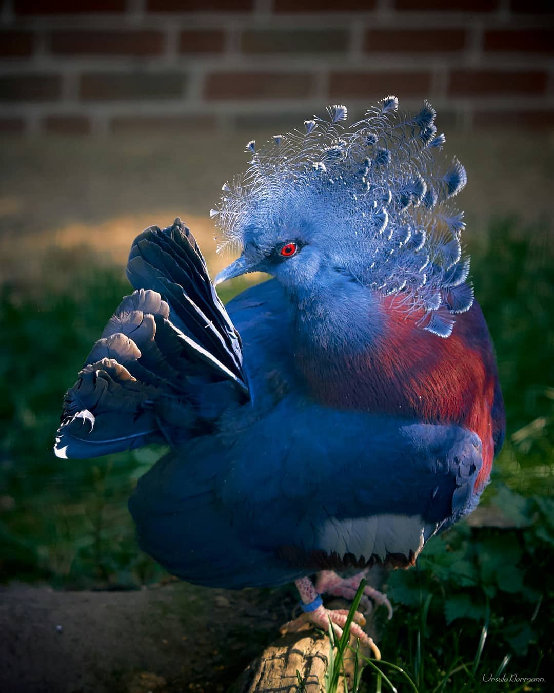 1565595570 3264cb65f5cffca2a03e35114b3bff89 - Эта птица с синим хохолком доказала, что голуби могут потягаться по красоте даже с павлинами
