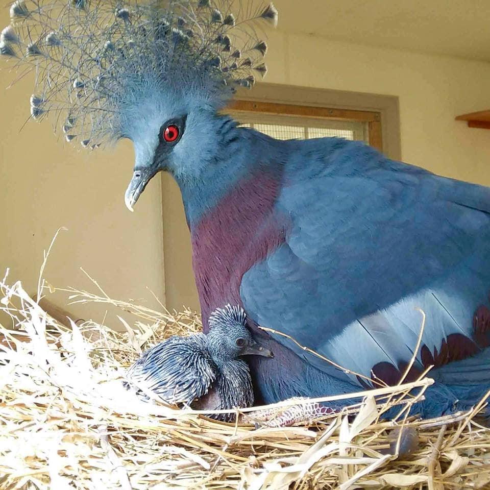 1565595571 901754f6362bb313e743e19486f04b64 - Эта птица с синим хохолком доказала, что голуби могут потягаться по красоте даже с павлинами