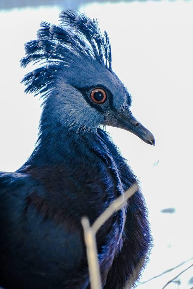 1565595572 579a8a6e8760744acae6954276dde2a1 - Эта птица с синим хохолком доказала, что голуби могут потягаться по красоте даже с павлинами