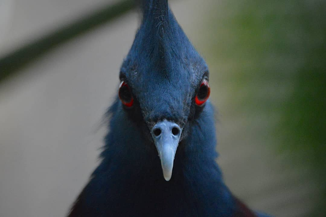 1565595573 7f25994ecc4dff9507a05971ede2f894 - Эта птица с синим хохолком доказала, что голуби могут потягаться по красоте даже с павлинами