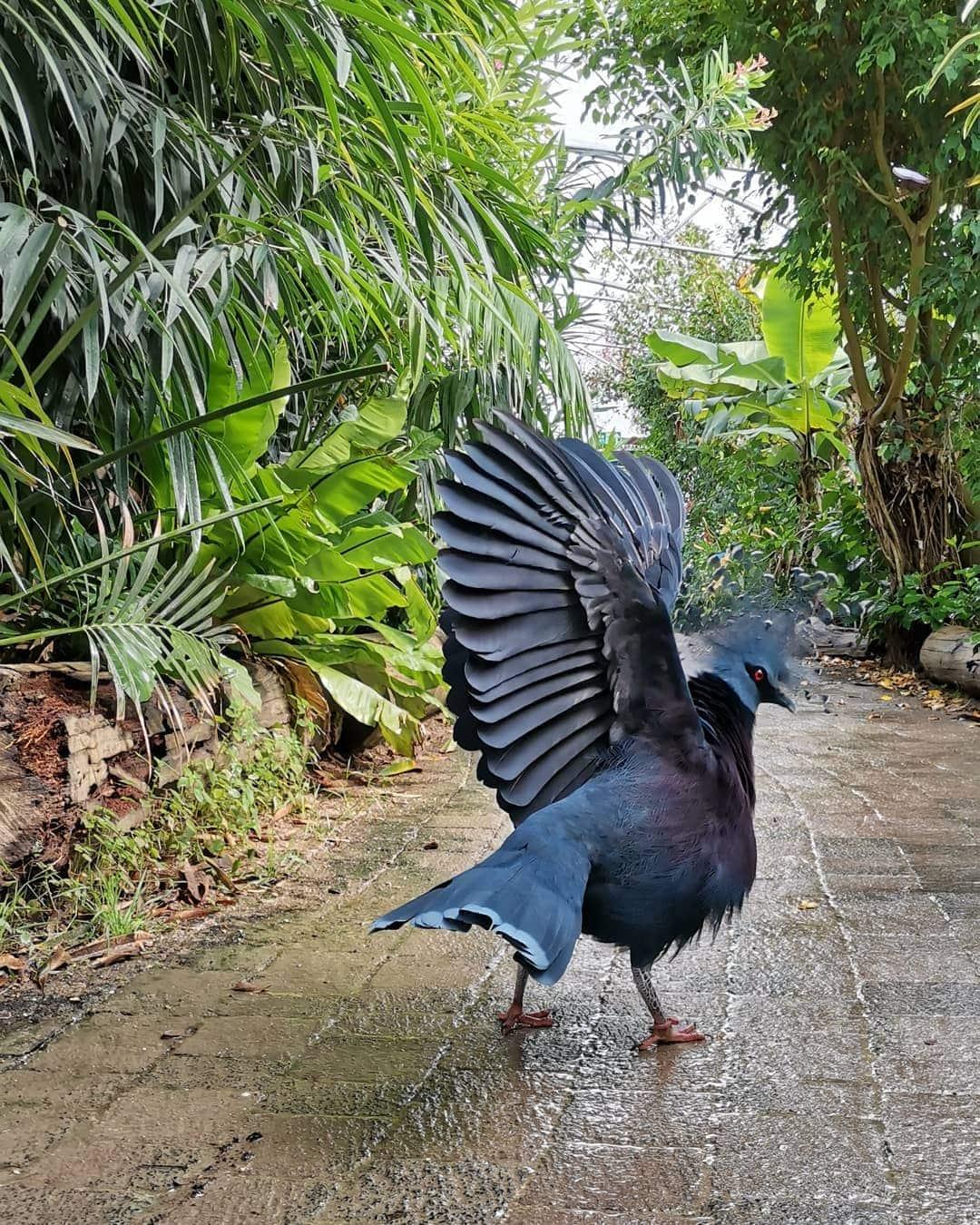 1565595574 6c66120d8898b5e45fb95cc4ca31c60f - Эта птица с синим хохолком доказала, что голуби могут потягаться по красоте даже с павлинами