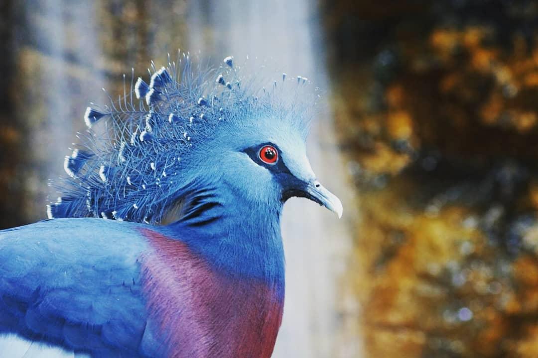 1565595575 ba58a740d4ffdf669d116c0dbcaa3bed - Эта птица с синим хохолком доказала, что голуби могут потягаться по красоте даже с павлинами