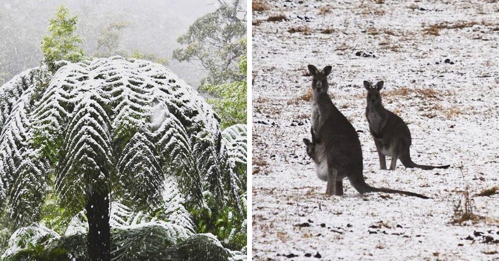 Австралию засыпало снегом. На то, как кенгуру скачут по заснеженным полям, можно смотреть вечно