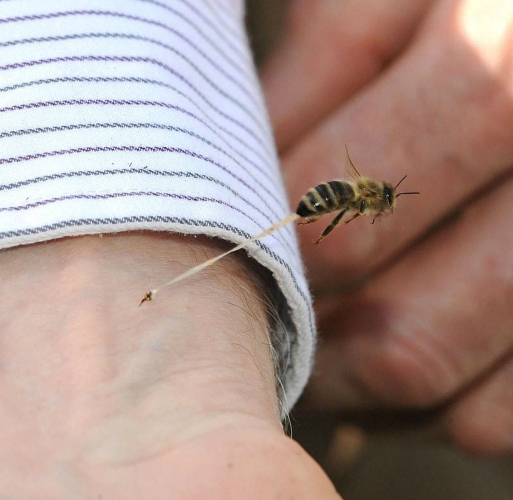 An action shot of a honeybee giving someone it's final sting.
