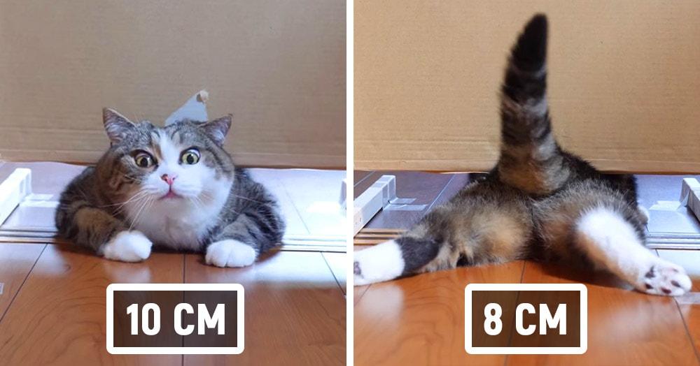 Японец проверил, в насколько узкую щель смогут пролезть его коты. Эксперимент, который мы заслужили!