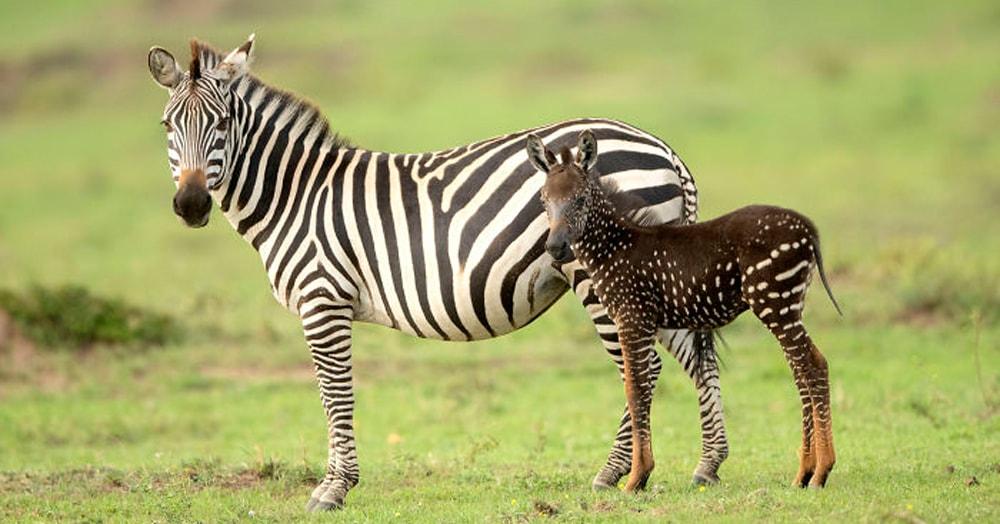 В Кении обнаружили малыша зебры, который очень отличается от собратьев — ведь шкура у него в горошек