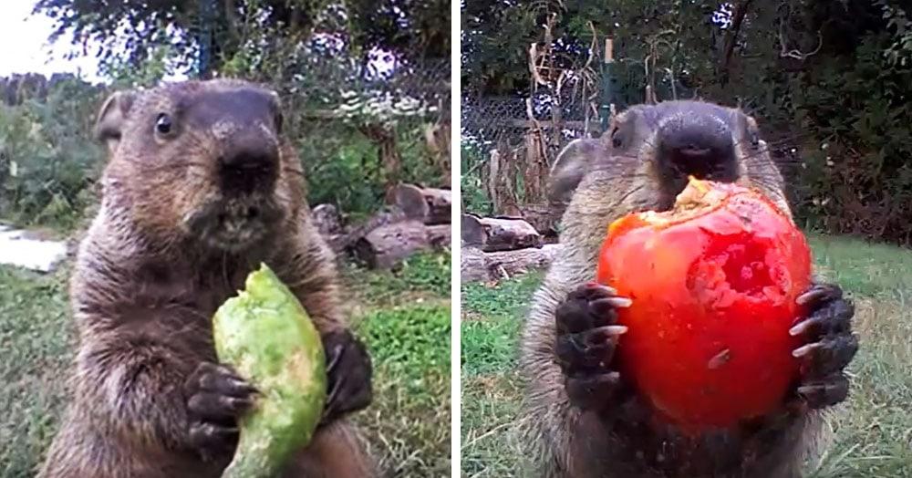 Сурок воровал овощи и его раскрыли, но он очаровал всех своим милым чавканьем и даже попал в YouTube