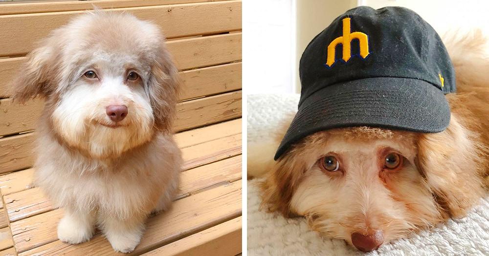 Австралийский пудель Нори стал интернет-сенсацией из-за своей человеческой морды (хотя он собака)