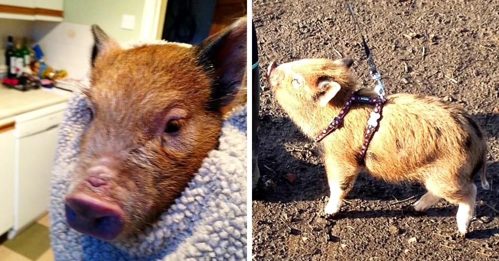 Британец купил мини-пига, но свинка выросла совсем не мини и заставила хозяев отказаться от бекона