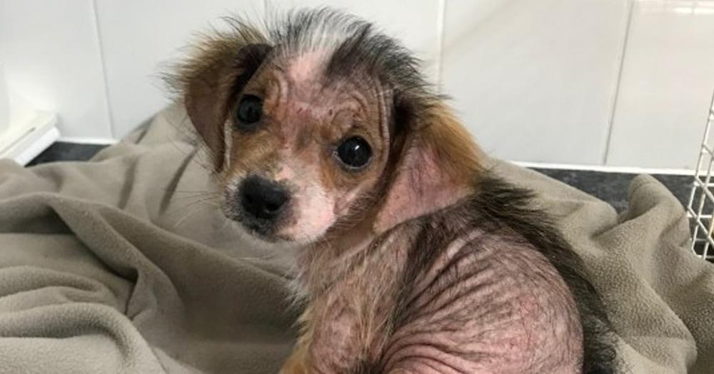 Собачка была почти лысой, но забота сотворила чудо. Теперь этой красотке впору заводить Инстаграм