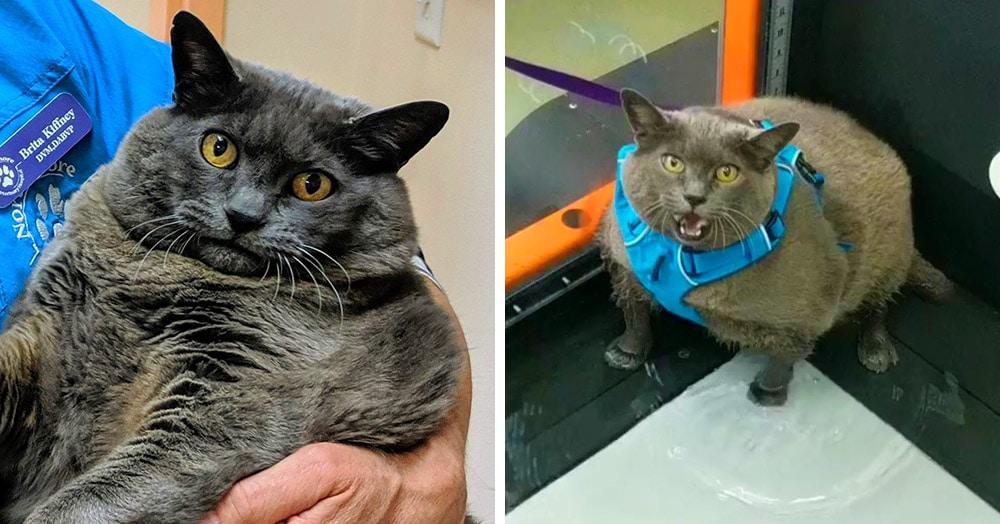 Пухлая кошка по имени Шлакоблок прославилась ленью. Теперь весь интернет следит за её похудением