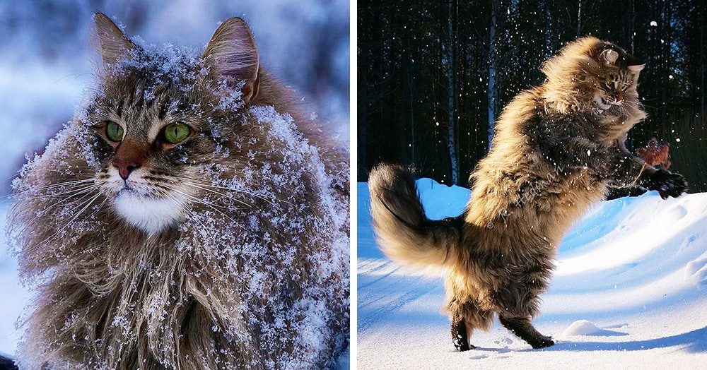 Норвежская лесная кошка, породы кошек, фото, уход и содержание, история, характер