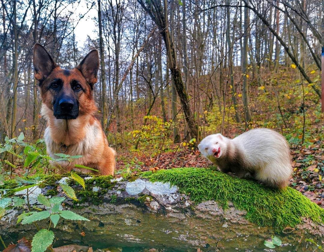 1573119723 b5b620749197e93cb3fac545484ec67f - Немецкая овчарка и хорёк подружились и покорили пользователей сети своими тёплыми чувствами