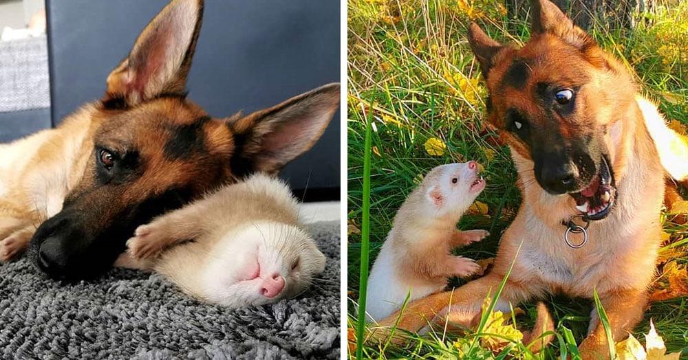 Немецкая овчарка и хорёк подружились и покорили пользователей сети своими тёплыми чувствами