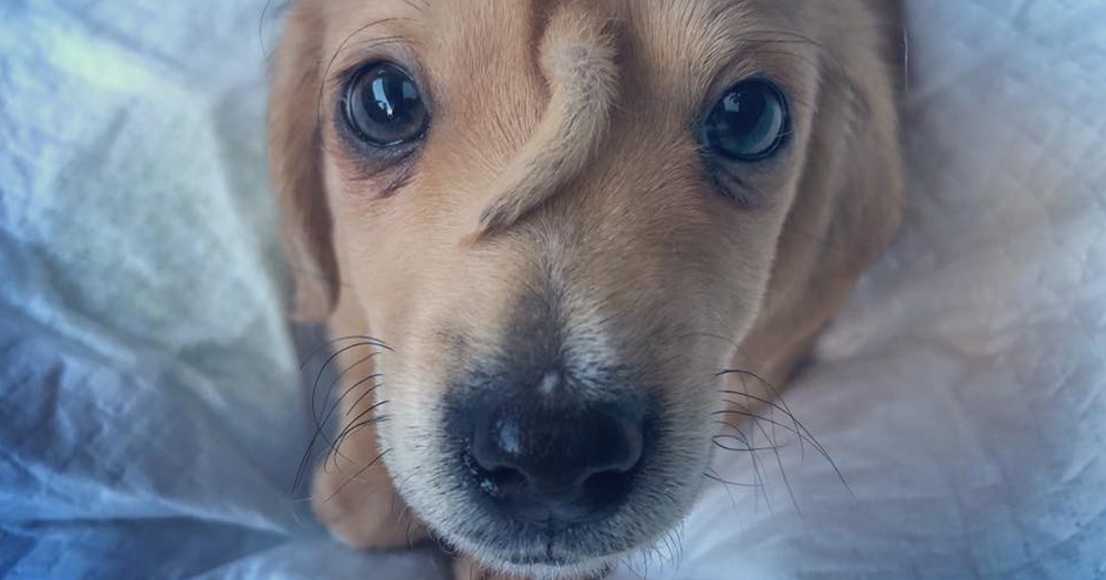 Зоозащитники нашли собаку-единорога. Это маленький щенок Нарвал, и у него на лбу хвостик