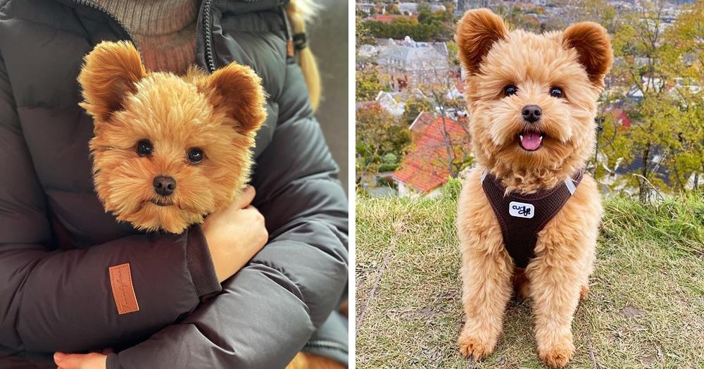 Плюшевый мишка или собака? Этот пёс выглядит настолько мимимишно, что его сравнивают с игрушкой