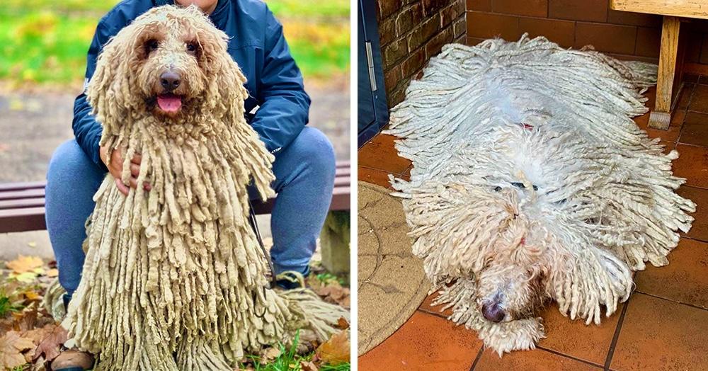Собака по кличке Ханга породы комондор поражает своей шевелюрой. Люди в восторге от этой швабры!