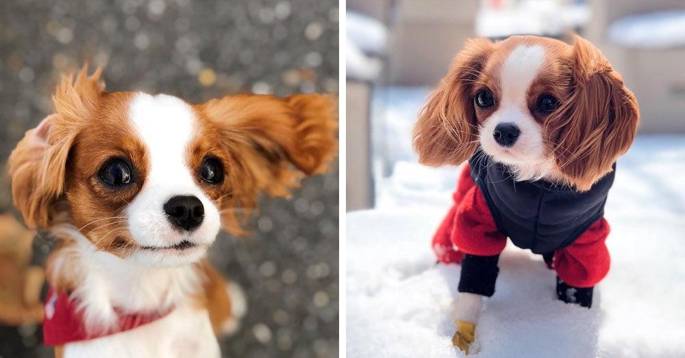 Взрослый спаниель Несса выглядит как крошечный щенок и покоряет сердца своими маленькими размерами